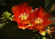 Orange Prickly Pear Blossom Posters - Orange Prickly Pear Cactus  Poster by Saija  Lehtonen