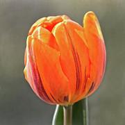 Orange Red Tulip Square Print by Sandi OReilly