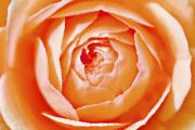 Peach Roses Photos - Orange Rose by Chris Knorr