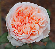 Orange Rose Print by Dennis Dugan