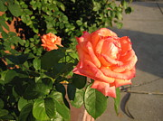 Elisabeth Ann - Orange Rose In The...