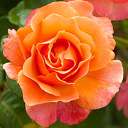 Whittle Prints - Orange Rose Lillian Print by Dee Dee  Whittle