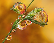 Orange Rose Refraction On Grass Seed 5 Print by Sinh Phun