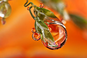 Orange Rose Refraction On Grass Seed 7 Print by Sinh Phun