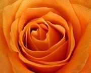 Patricia Sundik - Orange Rose Thanksgiving