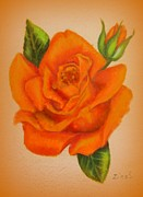 Blooming Drawings Framed Prints - Orange Rose Framed Print by Zulfiya Stromberg