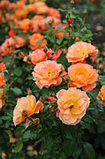 Orange Roses Posters - Orange Roses Poster by Carol Groenen