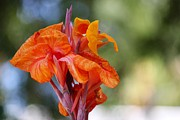 Canna Posters - Orange Ruffled Beauty Poster by Leigh Meredith