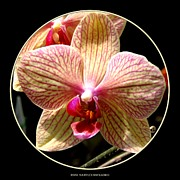 Rose Santuci-sofranko Posters - Orange striped Orchid Poster by Rose Santuci-Sofranko
