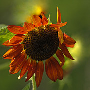 Olivia Hardwicke - Orange Sunflower