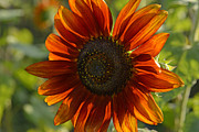 Yellow And Orange Sunflower Prints - Orange Sunflower Print by Roy Thoman