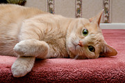 Pet Portrait Photos - Orange Tabby Cat Lying Down by Amy Cicconi