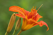 Floral Photographs Photos - Orange Tiger Lilies by Juergen Roth