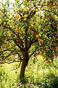 Judy Jenks  - Orange Tree