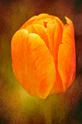 Dof Prints - Orange tulip brown texture Print by Matthias Hauser
