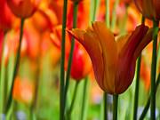 Orange Tulip Garden Print by Eva Kondzialkiewicz