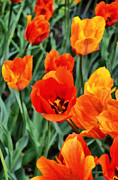 Tulips Digital Art Posters - Orange Tulip Splendor Poster by Michelle Calkins