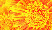 Difficulties Love Posters - Orange Yellow Gerber Daisies Art Poster by MotionAge Art and Design - Ahmet Asar