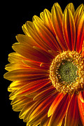 Flowers Gerbera Posters - Orange yellow mum close up Poster by Garry Gay
