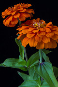 Zinnia Prints - Orange zinnia Print by Garry Gay