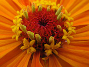 Ausra Paulauskaite Art - Orange Zinnia. Up Close And Personal by Ausra Paulauskaite