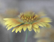 Lensbaby Close-up Posters - Oranges and Lemons Blanket Flower Poster by David and Carol Kelly
