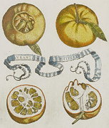 Fruit Still Life Framed Prints - Oranges Framed Print by Cornelis Bloemaert