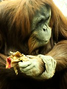 Orangutan Digital Art Metal Prints - Orangutan Metal Print by Michelle Frizzell-Thompson