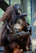 Surrogate Prints - Orangutan Mom and Baby  Print by Savannah Gibbs