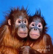 Toni Angermayer - Orangutan Pongo Pygmaeus Babies