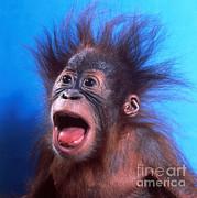 Toni Angermayer - Orangutan Pongo Pygmaeus Baby