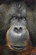 Head Shot Photos - Orangutan by Svetlana Sewell