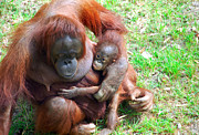 Orangutan Digital Art Metal Prints - Orangutang mother and baby Metal Print by Cheryl Casey