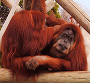 Orangutans Grooming Print by DiDi Higginbotham