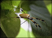 Orb Spider 2 Print by Lynn Andrews
