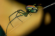 Orb* Originals - Orb Weaver by Jamieson Brown