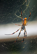 Shallow Depth Of Field Framed Prints - Orb Weaver Framed Print by Suzanne Gaff