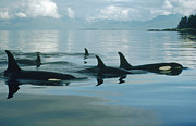 British Columbia Posters - Orca Group In Johnstone Strait Poster by Flip Nicklin