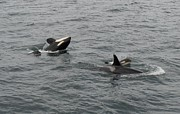 Gayle Swigart - Orca Mamas In the Wild -...