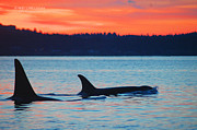Orca Sunset Print by Annie Pflueger