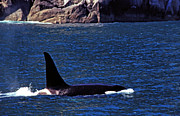 Orca Digital Art Acrylic Prints - Orca Surfacing Acrylic Print by Thomas R Fletcher
