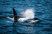 Ocean Mammals Art - Orca Whale on the move by Puget  Exposure