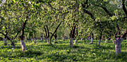 Spring Trees Prints - Orchard Print by Anonymous