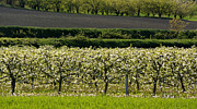 In A Row Art - Orchard blooming apple trees. by Bernard Jaubert