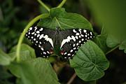 Marilyn Hunt - Orchard Swallowtail Butterfly