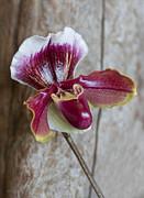 Barbara McMahon - Orchid 105