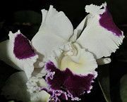 Cattleya Framed Prints - orchid 221 Cattleya Moscombe The King  1 of 3 Framed Print by Terri Winkler