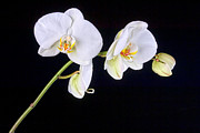 Orchid 2a Print by Mauro Celotti