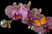 Orchidaceae Framed Prints - Orchid and orange butterfly Framed Print by Garry Gay