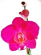 Golden Pink Orchid Photos - Orchid Angel 1 by Judy Via-Wolff